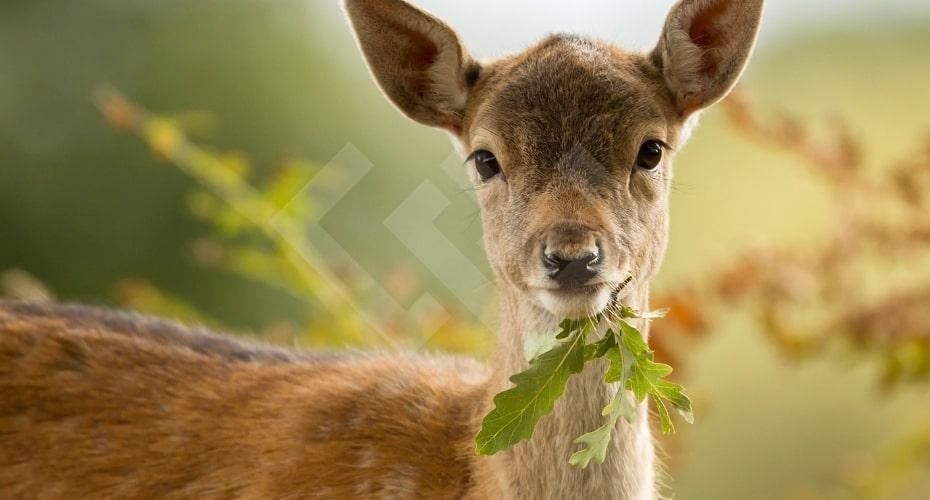 Deer Landscaping, Wildlife, Whidbey Island, Whdibey, Gardening, Landscaping, deer, animals, vegetation, Buck, yard, Windermere, real estate