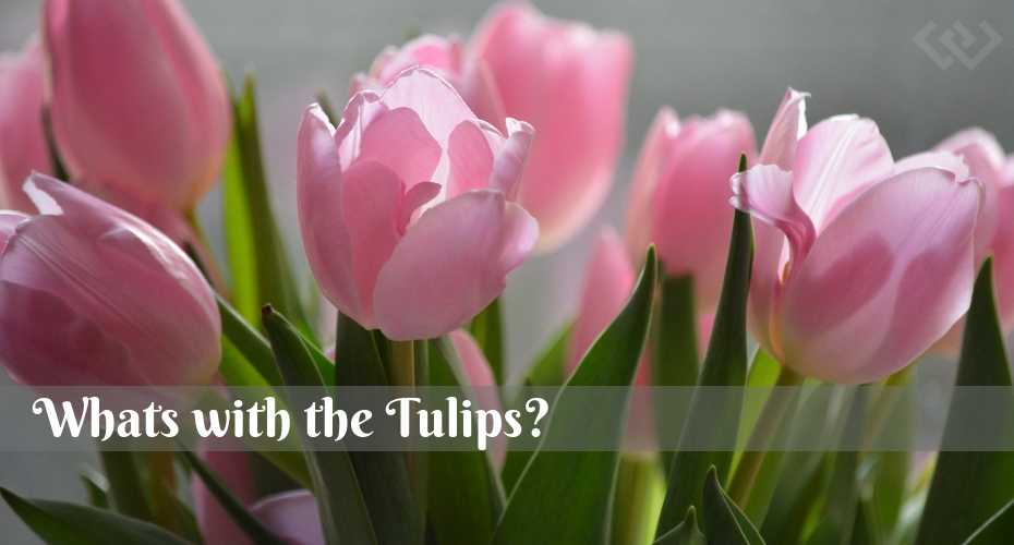 Tulips, flowers, Garden, Whidbey Island, Spring