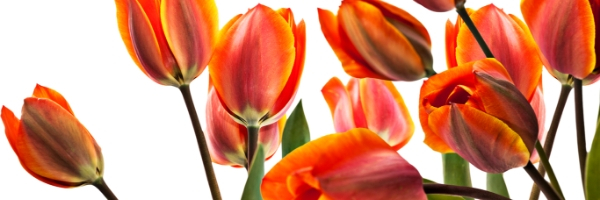 Tulips, holland Happening, Whidbey Island