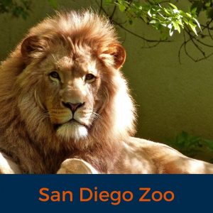 Lion, San Diego Zoo, Virtual Tour, Zoo, Animals , Stay at Home, Covid 19