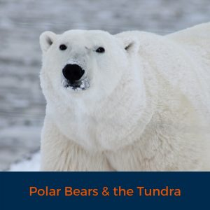 Polar Bears and the tundra
