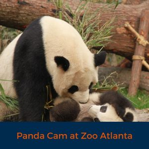 Panda Cam At Zoo Atlanta, Virtual tour, COVID 19, Stay home, explore safely, learn from home