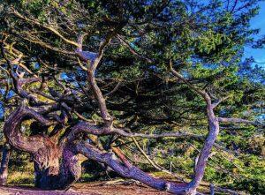 Old Growth Tree Near Cranberry Lake, Deception pass, Whidbey Island, Washington