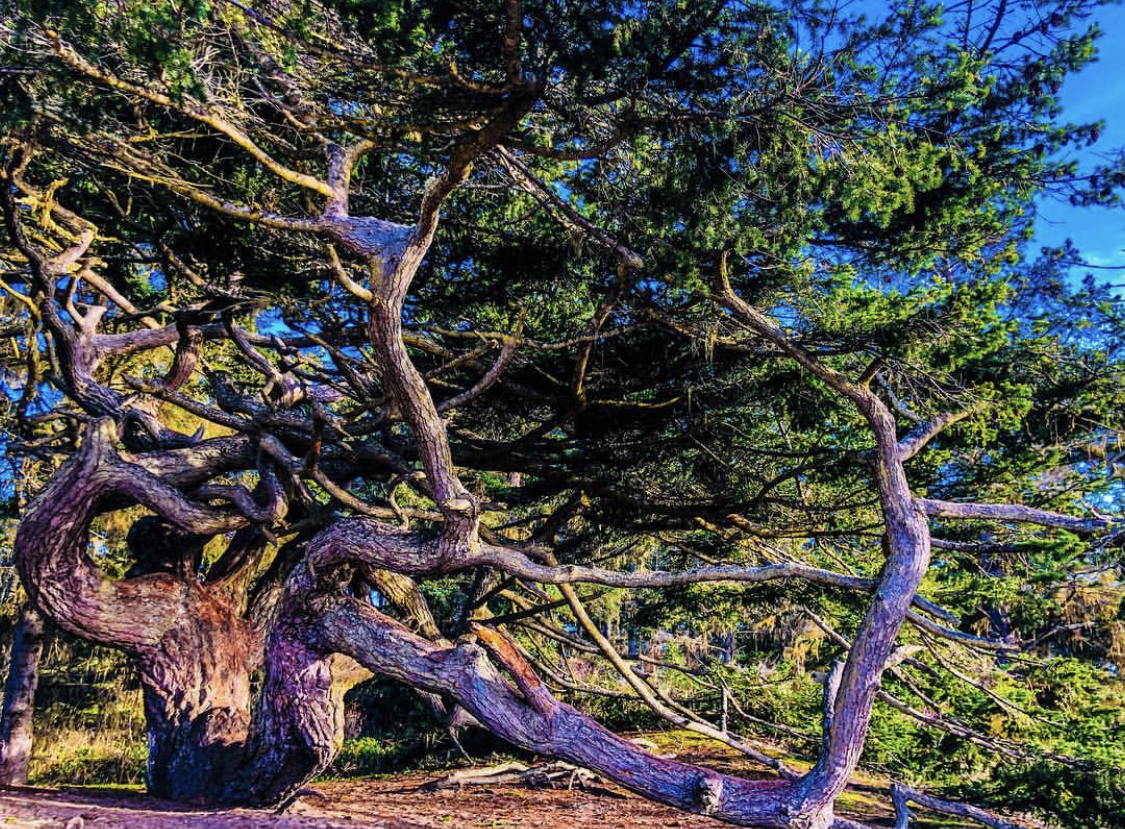 Old Growth Tree Near Cranberry Lake, Deception pass, Whidbey Island, Washington